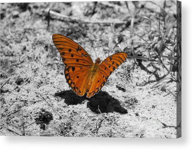 Gulf Fritillary Butterfly Acrylic Print featuring the photograph Gulf Fritillary Butterfly by Kristy Ollis