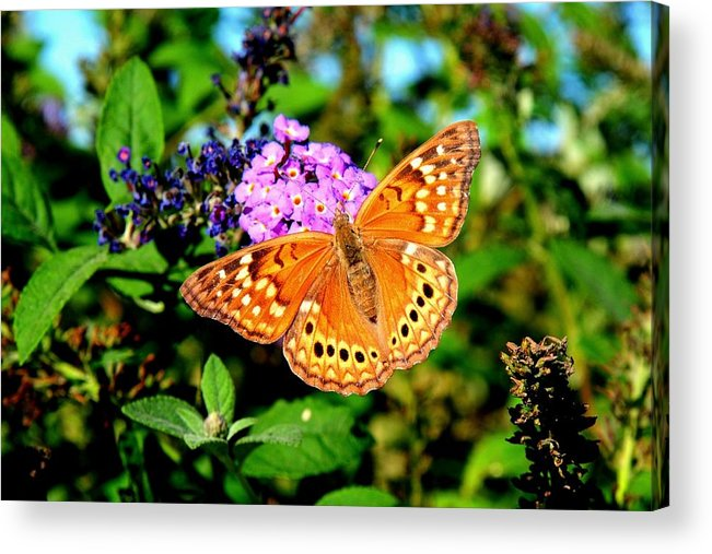 Landscape Acrylic Print featuring the photograph Hackberry Emperor Butterfly On Flowers by Marilyn Burton