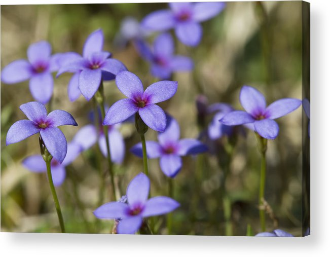 Tiny Bluet Acrylic Print featuring the photograph Happy Tiny Bluet Wildflowers by Kathy Clark
