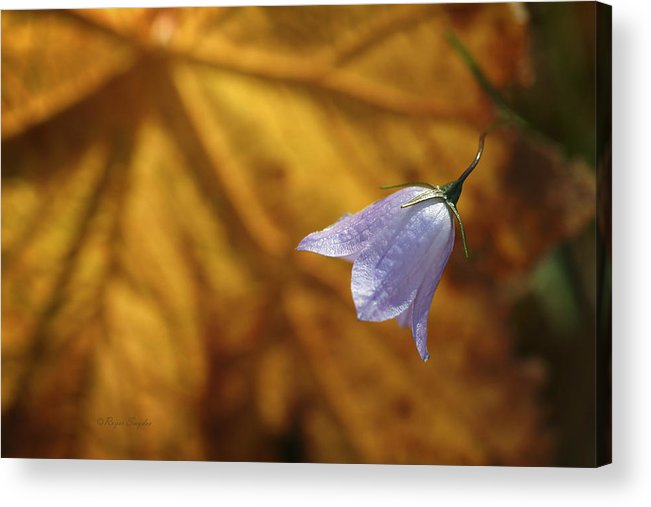 Indigo Acrylic Print featuring the photograph Hare Bell And Gold Leaf by Roger Snyder