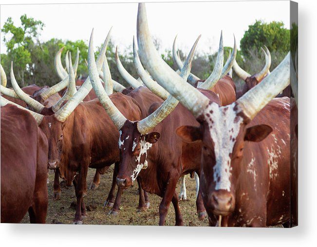 Horned Acrylic Print featuring the photograph Herd Of Ankole-watusi Cattle, Kenya by Martin Harvey