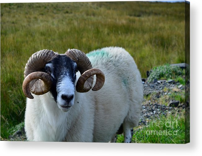 Sheep Acrylic Print featuring the photograph Highland Sheep by DejaVu Designs
