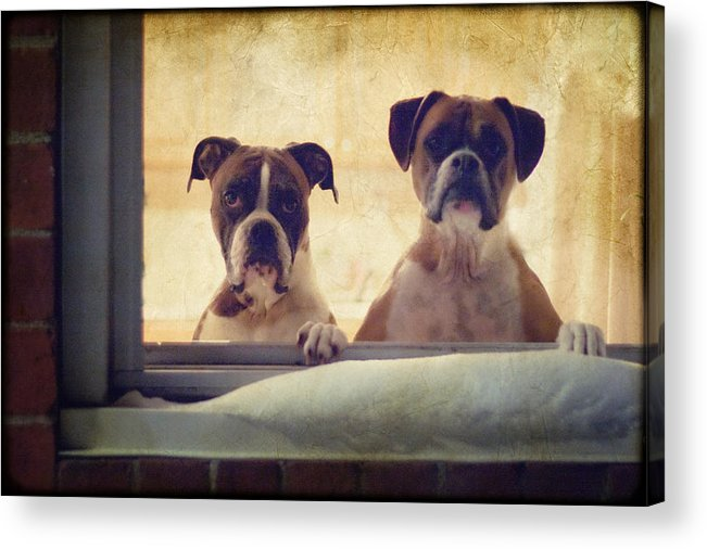 Boxer Acrylic Print featuring the photograph How Much Is That Doggie In The Window? by Stephanie McDowell