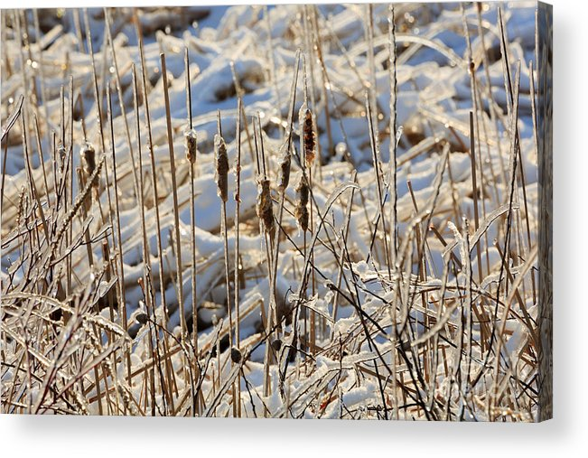 Ice Acrylic Print featuring the photograph Ice Coated Bullrushes by Louise Heusinkveld