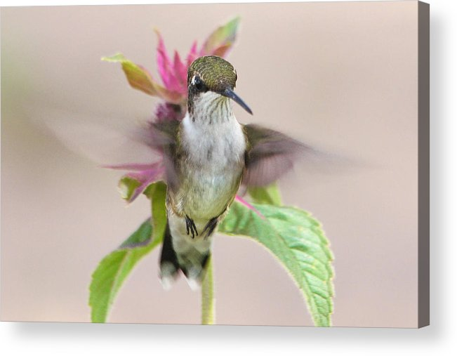 Hummingbird Acrylic Print featuring the photograph Iconically Emblematic by Theo OConnor