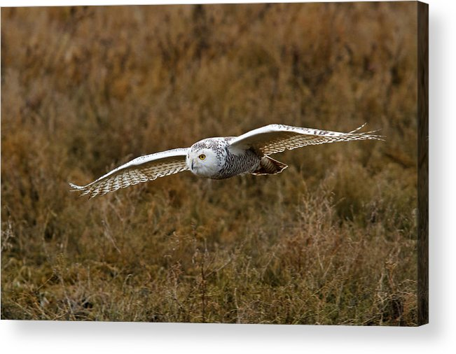 Snowy Owl Acrylic Print featuring the photograph In Flight by Shari Sommerfeld