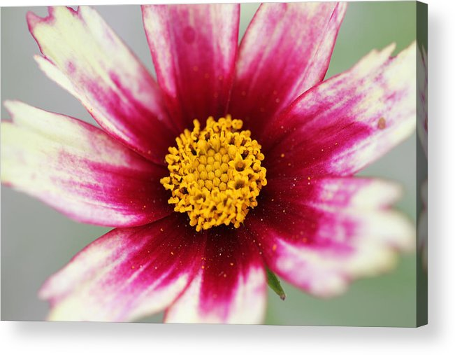 Coreopsis Acrylic Print featuring the photograph Inner Beauty by Cathy Donohoue