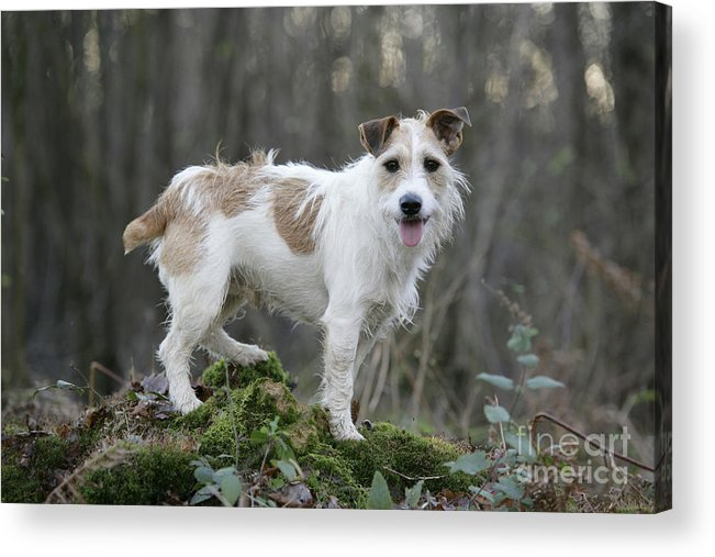 Jack Russell Acrylic Print featuring the photograph Jack Russell Dog In Autumn Setting by John Daniels
