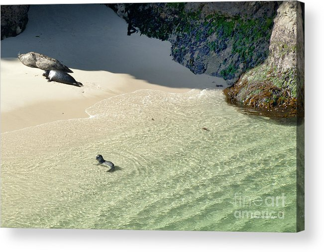 Big Sur Acrylic Print featuring the photograph Just Born Baby Sea Lion Pup With Mom And Dad Napping On The Beach by Artist and Photographer Laura Wrede