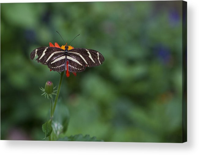Butterfly Acrylic Print featuring the photograph Kanapaha Butterfly I by Charles Warren