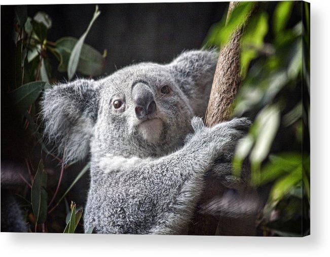 Koala Acrylic Print featuring the photograph Koala Bear by Tom Mc Nemar
