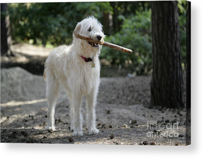 Labradoodle Acrylic Print featuring the photograph Labradoodle Holding Stick by John Daniels