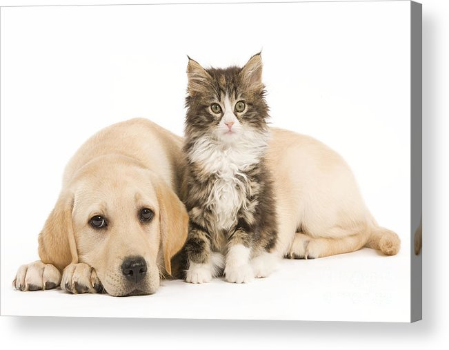 Cat Acrylic Print featuring the photograph Labrador And Forest Cat by Jean-Michel Labat