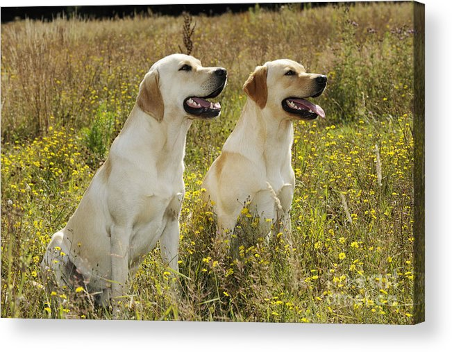 Labrador Retriever Acrylic Print featuring the photograph Labrador Retriever Dogs by John Daniels
