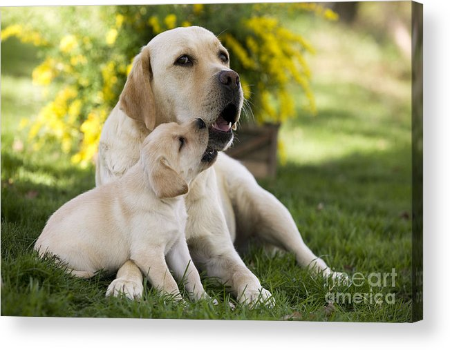 Labrador Retriever Acrylic Print featuring the photograph Labrador With Puppy by Jean-Michel Labat