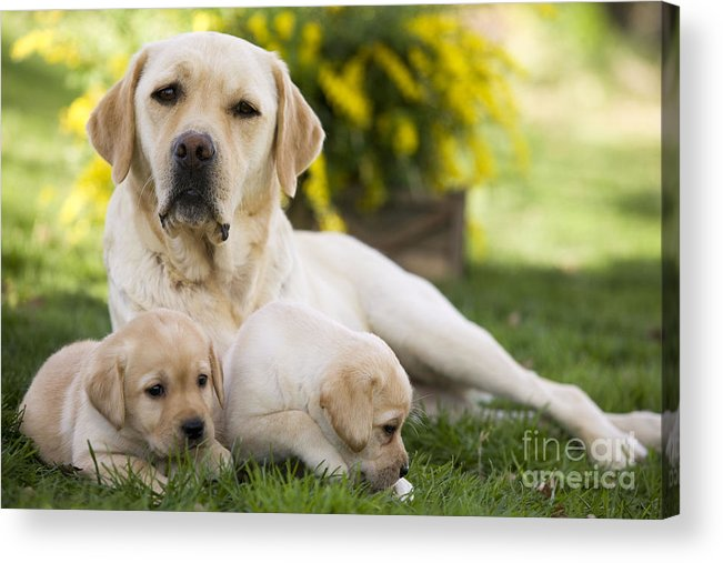 Labrador Retriever Acrylic Print featuring the photograph Labrador With Two Puppies by Jean-Michel Labat