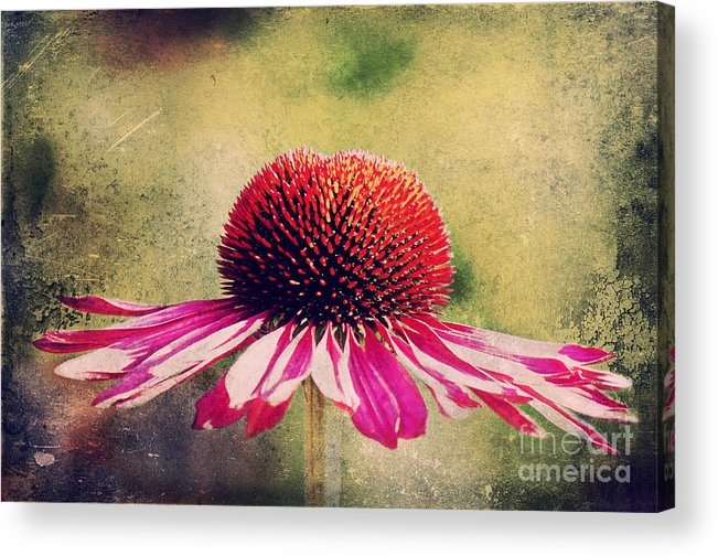 Echinacea Acrylic Print featuring the photograph Last Summer Feeling by Angela Doelling AD DESIGN Photo and PhotoArt
