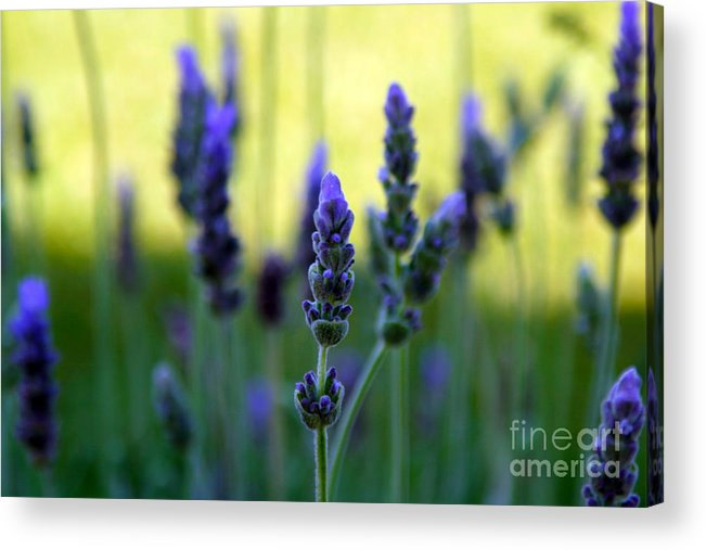 Lavender Acrylic Print featuring the photograph Lavender by Lynne Sutherland