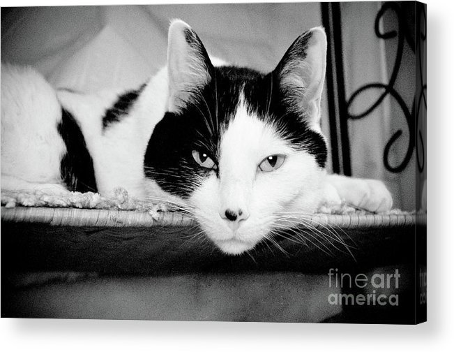 Andee Design Cat Acrylic Print featuring the photograph Le Cat by Andee Design