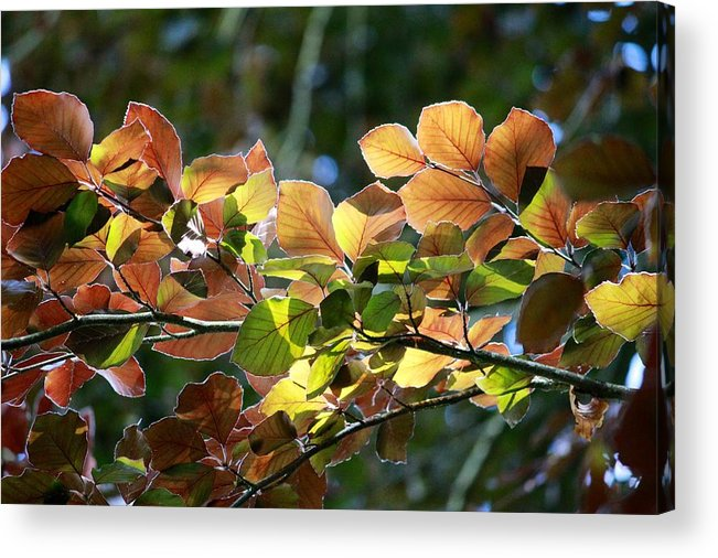 Leaves Acrylic Print featuring the photograph Leaves Of Light by Tim Rice