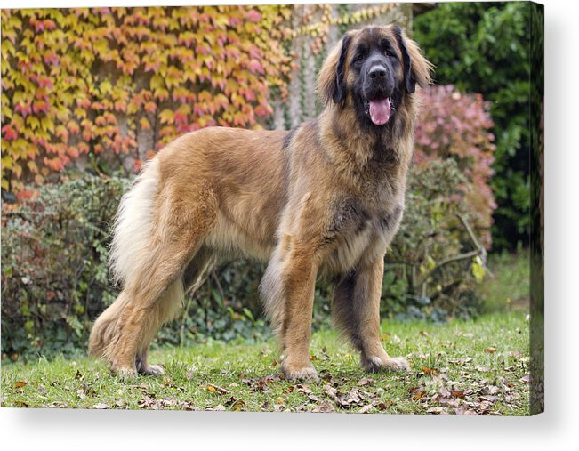 Leonberger Acrylic Print featuring the photograph Leonberger Dog by Jean-Michel Labat
