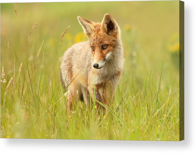 Afternoon Acrylic Print featuring the photograph Lil' Hunter - Red Fox Cub by Roeselien Raimond