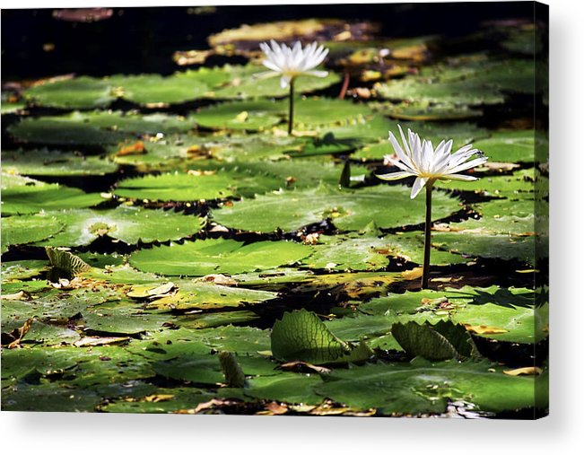 Lily Pads And Lotus Flowers With Dragonfly Acrylic Print By Jason