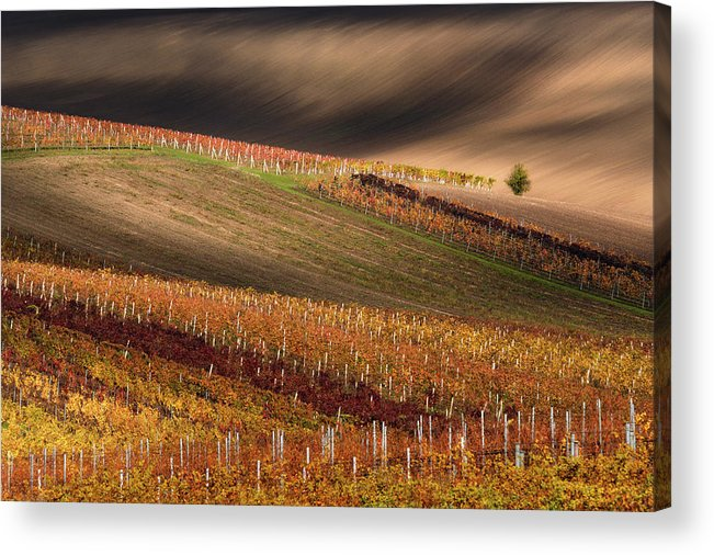 Agriculture Acrylic Print featuring the photograph Line And Vine by Vlad Sokolovsky
