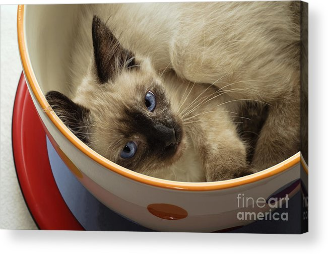 Andee Design Cats Acrylic Print featuring the photograph Little Miss Blue Eyes by Andee Design