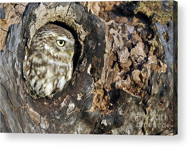 Little Owl Acrylic Print featuring the photograph Little Owl 4 by Arterra Picture Library