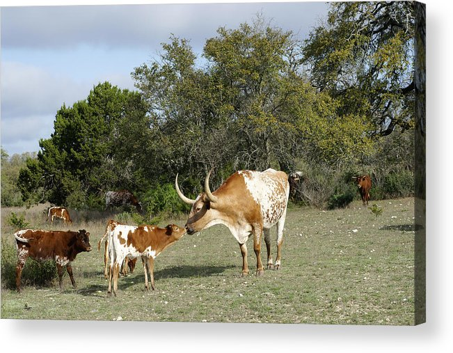 Longhorn Cattle Acrylic Print featuring the photograph Longhorn Love by Bill Morgenstern