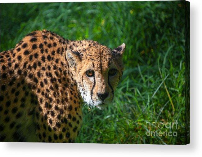 Cheetah Acrylic Print featuring the photograph Look Of The Hunter by Yuri Levchenko