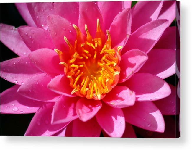 Corey Haynes Acrylic Print featuring the photograph Lotus by CE Haynes