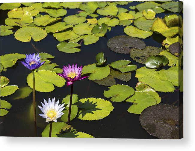 Lotus Flowers Nelumbo In Various Colours Thailand Asia Acrylic