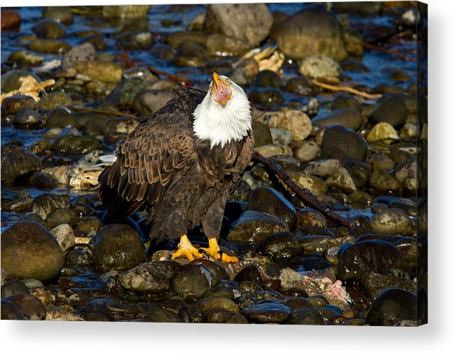 Bald Eagle Acrylic Print featuring the photograph Loud And Proud by Shari Sommerfeld