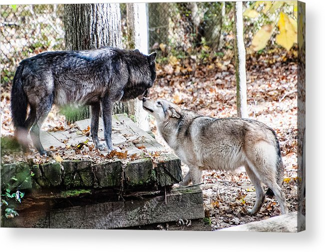 Wolf Acrylic Print featuring the photograph Lovers by Sheri Bartoszek