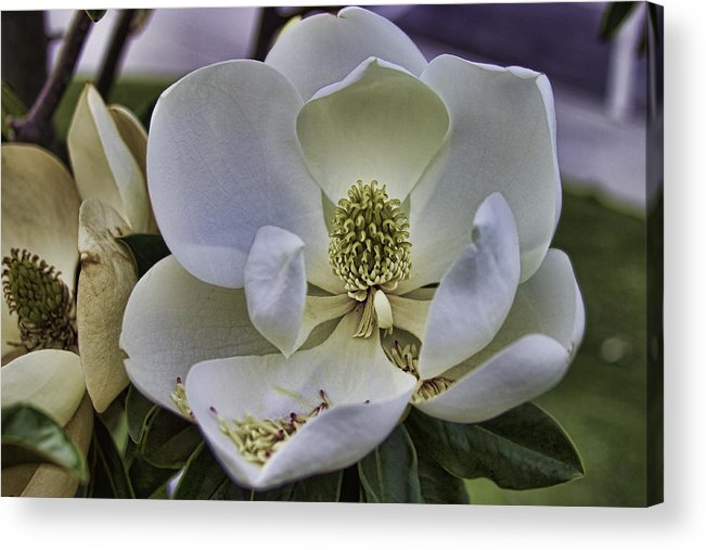Flower Acrylic Print featuring the photograph Magnolia by Brian Wright
