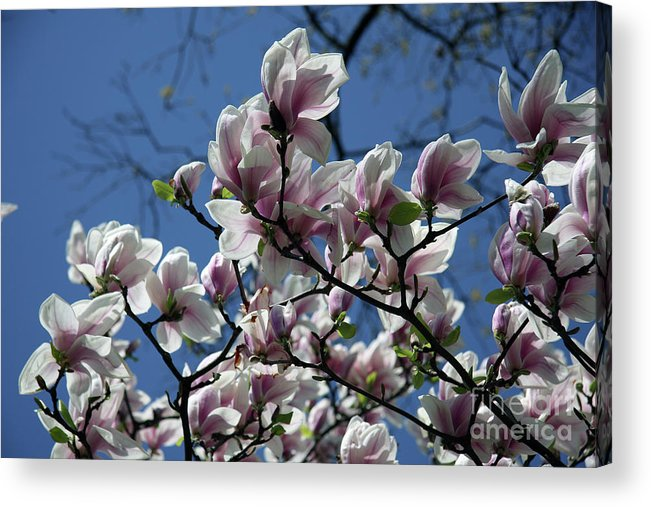 Magnolia Acrylic Print featuring the photograph Magnolia Twig by Christiane Schulze Art And Photography