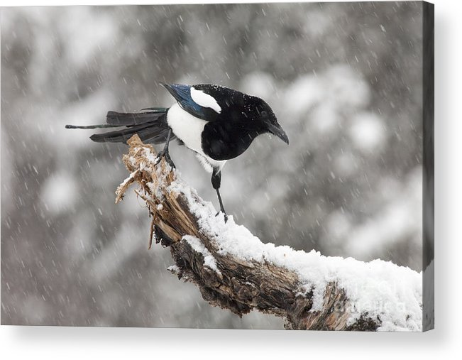 Black-billed Magpie Acrylic Print featuring the photograph Magpie Out On A Branch by Tim Grams