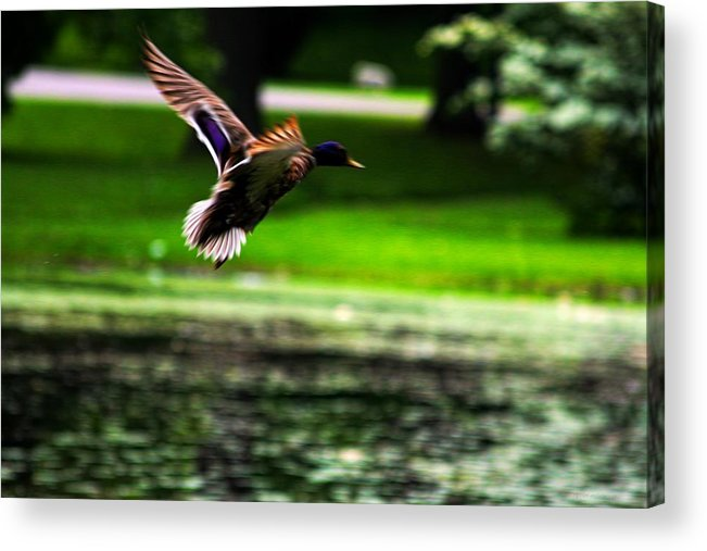 Digital Art Acrylic Print featuring the digital art Mallard  Taking Flight by John Delong