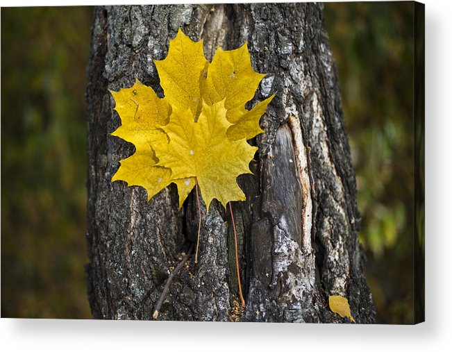 Autumn Acrylic Print featuring the photograph Maple-leaves by Vitaly Kozlovtsev