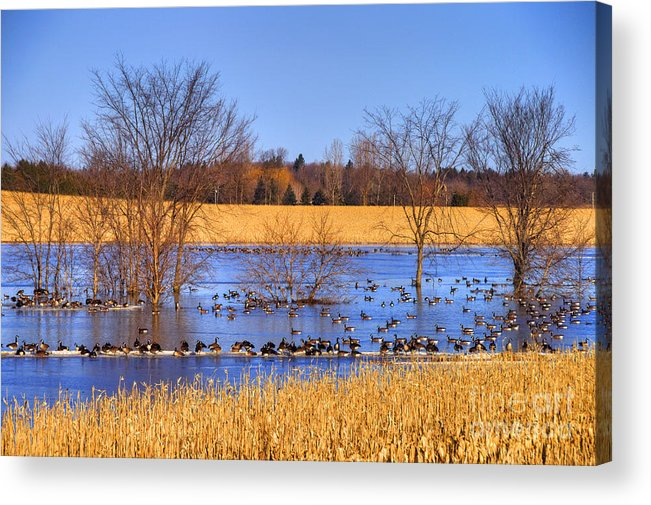 Festblues Acrylic Print featuring the photograph Migration.. by Nina Stavlund