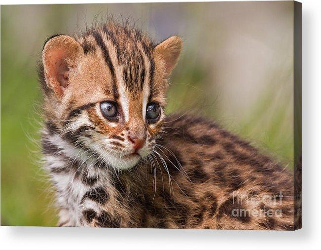 Leopard Acrylic Print featuring the photograph Miniature Leopard by Ashley Vincent