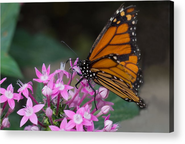 Brookside Gardens Acrylic Print featuring the photograph Monarch 2 by Leah Palmer