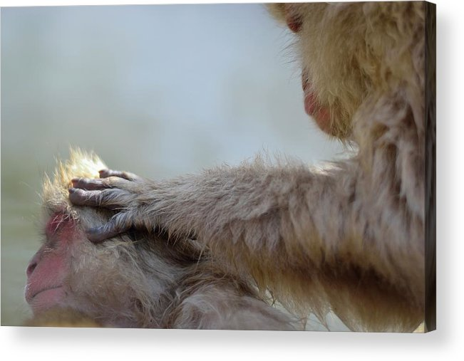 Animal Themes Acrylic Print featuring the photograph Monkey Head Massage by Electravk