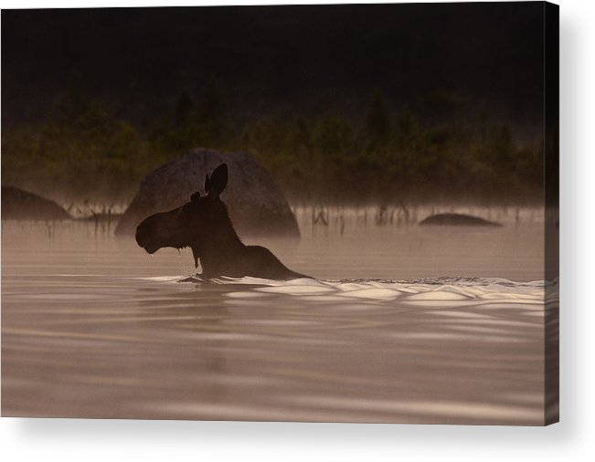 Moose Acrylic Print featuring the photograph Moose Swim by Brent L Ander