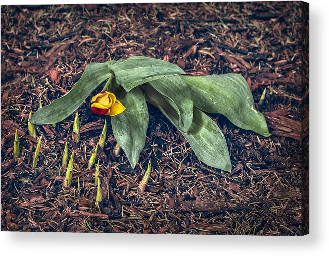 Tulip Acrylic Print featuring the photograph Mother Nurture by Nancy Strahinic