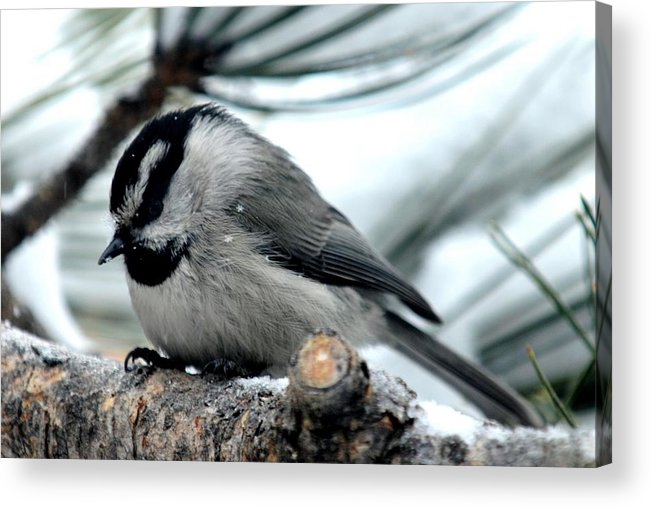 Colorado Acrylic Print featuring the photograph Mountain Chickadee During A Light Snow by Marilyn Burton