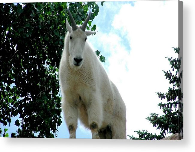 Colorado Zoo Acrylic Print featuring the photograph Mountain Goat by Marilyn Burton