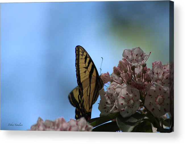 Mountain Laural Butterfly Acrylic Print featuring the photograph Mountain Larual Butterfly by Debra   Vatalaro